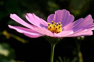 Photograph - Pink Cosmea Rose by Emanuel Tanjala