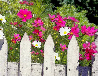Cosmos Flowers Painting - Pink Cosmos Flowers And White Picket Fence by Elaine Plesser