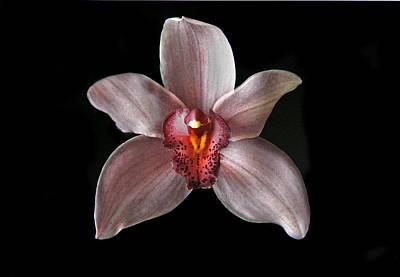 Photograph - Pink Cymbidium Orchid. by Chris  Kusik