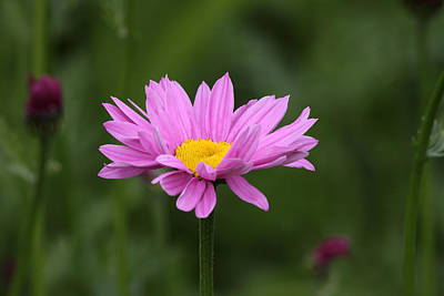 Photograph - Pink Daisy by Doug Lloyd