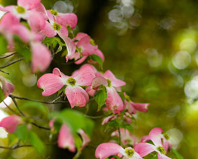 Photograph - Pink Dogwood Blooms by Lori Coleman