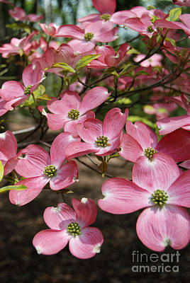 Digital Art - Pink Dogwood Flowers by Eva Kaufman