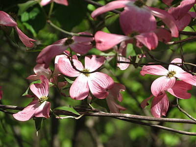 Pink Dogwood Tree Art Print