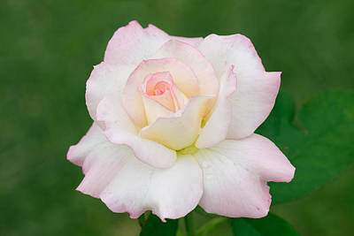 Pink Edge White Rose Original