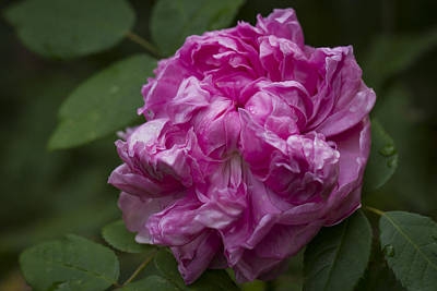 Photograph - Pink English Rose by Clare Bambers