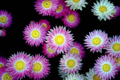 Pink Flowers At Dawn 2 Print by Sumit Mehndiratta