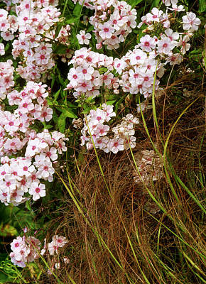 Pink Flowers Of Phlox Paniculata - Miss Wilma  (perennial Phlox)  With Stipa Arundinacea (pheasant Grass) In A Piet Oudolf Inspired Garden, August  Coldcoates Farm, York Owner: Penny Jones Art Print by Suzie Gibbons