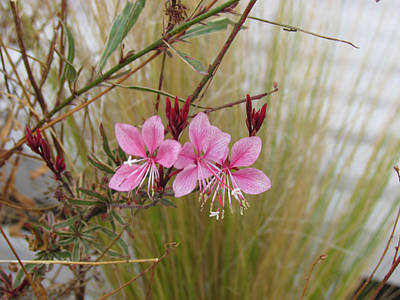 Photograph - Pink Fountain - Guara by Bonnie Muir