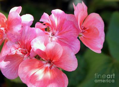Pink Geraniums Photograph - Pink Geranium Floral by Marjorie Imbeau