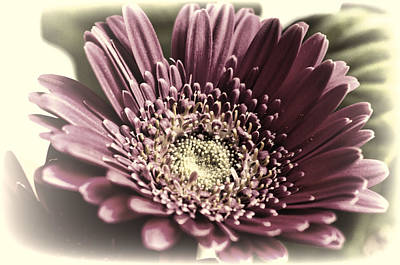 Aromatherapy Oils Royalty Free Images - Pink Gerbera 3 Royalty-Free Image by Steve Purnell