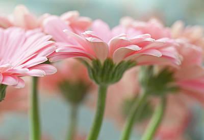 Pink Gerbera Daisies Art Print by Mary Smyth