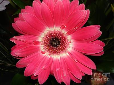Art Print featuring the photograph Pink Gerbera Daisy by Kerri Mortenson