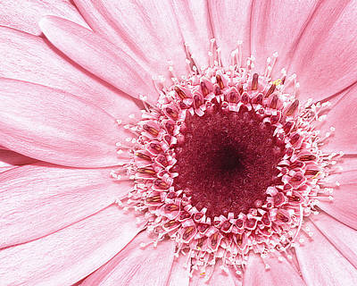 Photograph - Pink Gerbera Flower by Fiona Messenger