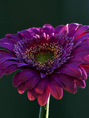 Outerspace Patenets Rights Managed Images - Pink Gerbera Light Royalty-Free Image by Bill Tiepelman