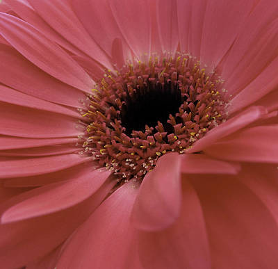 Photograph - Pink Gerbera by Fiona Messenger