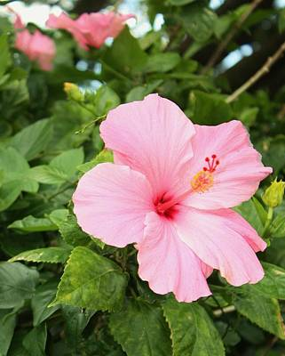 Pink Hibiscus Art Print by Craig Wood