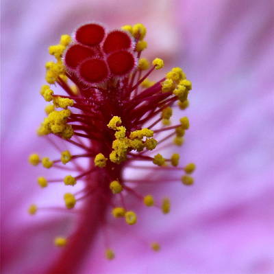 Photograph - Pink Hibiscus Inflorescence by Karon Melillo DeVega