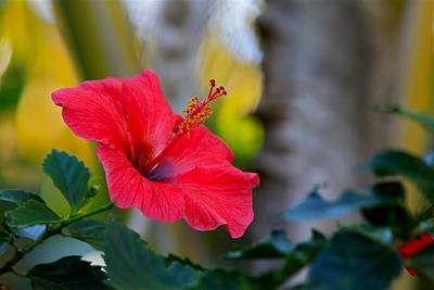 Photograph - Pink Hibiscus by Karon Melillo DeVega