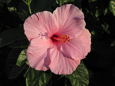 Photograph - Pink Hibiscus by RobLew Photography
