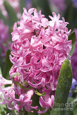 Photograph - Pink Hyacinth With Ice by Cindy Singleton