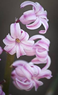 Garden Photograph - Pink Hyacinths by Teresa Mucha