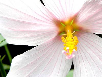 Art Print featuring the photograph Pink Hybiscus by Jodi Terracina