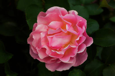 Pink Original by Josef Pittner