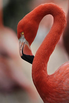 Flamingos Photograph - Pink by Joseph G Holland