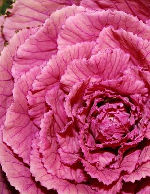 Photograph - Pink Kale by Bruce Bley