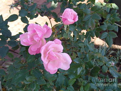 Photograph - Pink Knockout Roses 1 by Rod Ismay