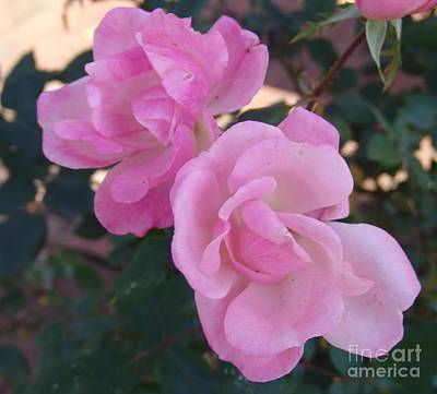 Photograph - Pink Knockout Roses 2 by Rod Ismay