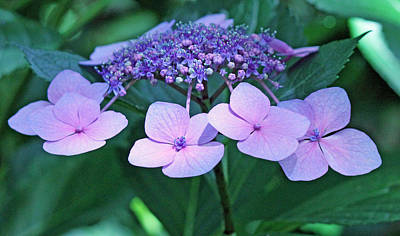 Pink Lacecap Hydrangea Art Print by Becky Lodes