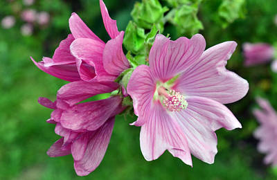 Pink Lavatera Original by Terence Davis