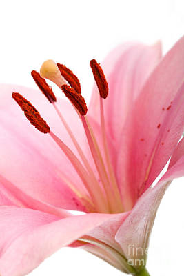 Lilly Photograph - Pink Lilies 02 by Nailia Schwarz