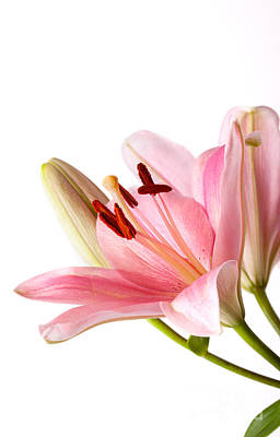 Lillies Photograph - Pink Lilies 06 by Nailia Schwarz