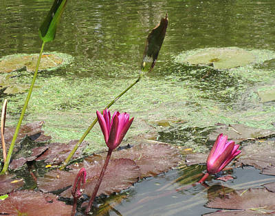 Pink Lilly Pond Print by Rosie Brown