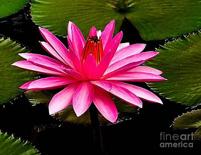 Photograph - Pink Lily by Nick Zelinsky