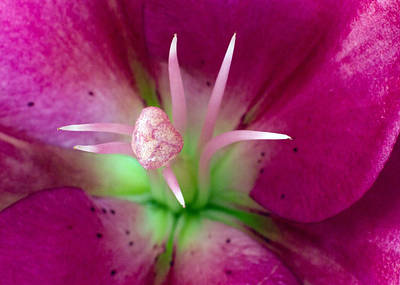 Lilies Royalty-Free and Rights-Managed Images - Pink Lily by Stelios Kleanthous