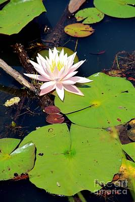 Dragonflys Photograph - Pink Lotus by Pauline Ross