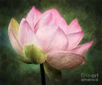 Digital Photograph - Pink Lotus Portrait by Susan Isakson