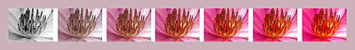 Photograph - Pink Lotus by Sumit Mehndiratta