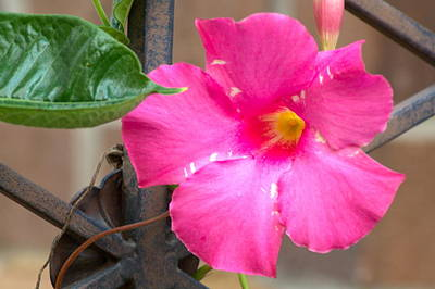 Photograph - Pink Mandevilla by Bj Hodges