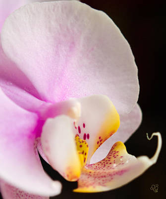 Photograph - Pink Moth Orchid by Barbara Middleton