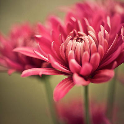 Pink Mum Flowers Art Print by Jody Trappe Photography