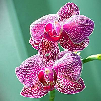 Orchids Photograph - #pink #orchid #iphoneography #iphonesia by Sherri Galvan