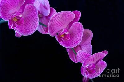 Flower Pint Photograph - Pink Orchid Ll by Dana Kern