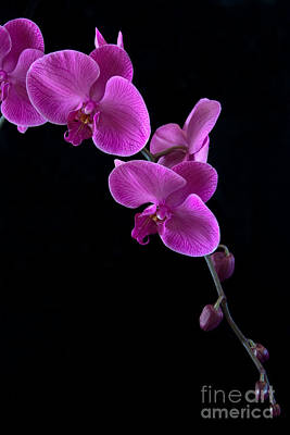 Flower Pint Photograph - Pink Orchid Lll by Dana Kern