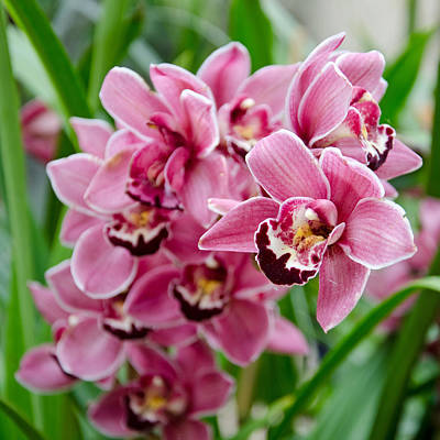 Photograph - Pink Orchids by Margaret Pitcher
