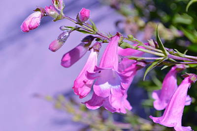 Photograph - pink Penstemon  by Saifon Anaya