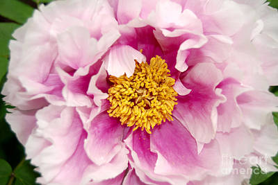 Digital Art - Pink Peony Flowers Series 3 by Eva Kaufman